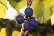 Free Small Grape Cluster Royalty Free Stock Photography - 1317197