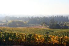 Foggy Vineyard In Autumn Royalty Free Stock Image