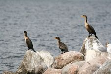 Free 3 Cormorants Stock Image - 1317481