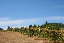 Free Foggy Vineyard In Autumn Stock Photo - 1317560