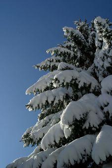 Free Snow On Tree Royalty Free Stock Photo - 1317885