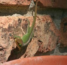 Free Lizard On Bricks Stock Image - 1318371