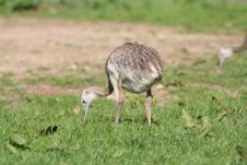Free Ostrich Stock Photography - 1318562