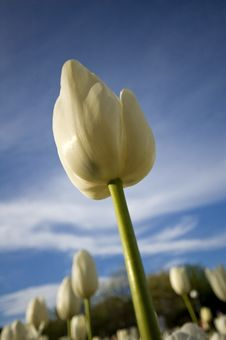 Free The White Tulip Royalty Free Stock Photography - 1319317
