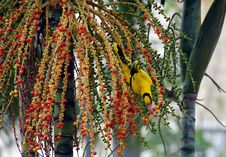 Sunbird Eating Fruits 2 Stock Image