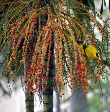 Sunbird Eating Fruits 3 Royalty Free Stock Photo