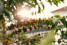 Free Red And Yellow Coffee Berries On Branch Stock Image - 131017021