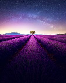 Free Lavender Field Under Gray And Blue Skies At Night Royalty Free Stock Images - 131017099