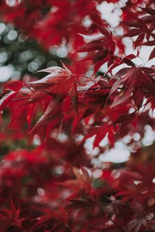 Free Maple Tree With Red Leaves Stock Photo - 131017400