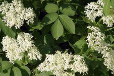 Free Plant, Nannyberry, Viburnum, Cow Parsley Royalty Free Stock Image - 131082136