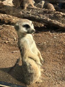 Free Meerkat, Fauna, Mammal, Wildlife Royalty Free Stock Image - 131082306