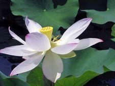 Free Flower, Plant, Sacred Lotus, Lotus Stock Images - 131082484