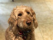 Free Dog, Dog Breed, Dog Like Mammal, Goldendoodle Royalty Free Stock Images - 131082519