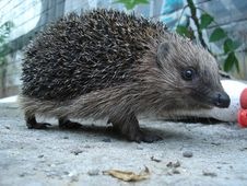 Free Hedgehog, Erinaceidae, Domesticated Hedgehog, Fauna Royalty Free Stock Photo - 131082565