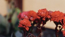 Free Selective Focus Photography Of Red Kalanchoe Flowers In Bloom Stock Images - 131108834