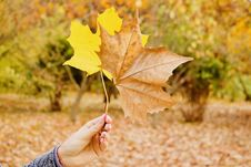 Free Person Holds Brown And Yellow Maple Leaves Royalty Free Stock Photos - 131108958