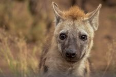 Free Selective Focus Photography Of Hyena Royalty Free Stock Images - 131109069