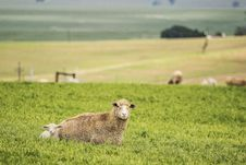 Free Sheep And Lamb Lying On Grass Royalty Free Stock Image - 131109086