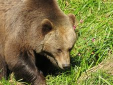 Free Brown Bear, Terrestrial Animal, Mammal, Bear Royalty Free Stock Photos - 131164798
