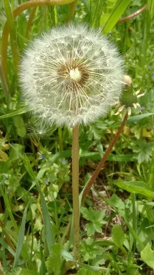 Free Flower, Plant, Dandelion, Flora Stock Photography - 131165072