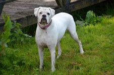 Free Dog Breed, Dog Like Mammal, Dog, Dogo Argentino Stock Images - 131165074