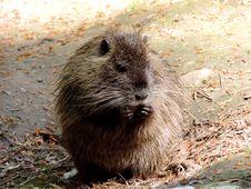 Free Fauna, Mammal, Muskrat, Rodent Royalty Free Stock Image - 131165406