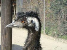 Free Emu, Ratite, Beak, Bird Stock Image - 131165411