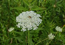 Free Cow Parsley, Plant, Apiales, Parsley Family Royalty Free Stock Images - 131165429