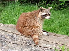 Free Mammal, Fauna, Terrestrial Animal, Raccoon Royalty Free Stock Photo - 131165495