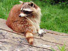 Free Raccoon, Procyonidae, Fauna, Mammal Stock Images - 131165604