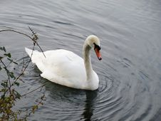 Free Swan, Bird, Water Bird, Ducks Geese And Swans Stock Photos - 131165643