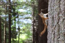 Free Brown Squirrel On Gray Tree Trunk Royalty Free Stock Image - 131201136