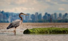 Free Great Blue Heron Standing On Water Stock Image - 131422721