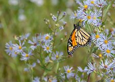 Free Monarch Butterfly On Flower Royalty Free Stock Photos - 131422728