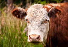 Free Close-up Photo Of White And Brown Cattle Stock Photos - 131422943