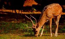 Free Close-Up Photo Of Deer Eating Grass Stock Photos - 131423153
