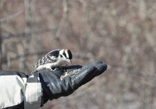 Free Woodpecker In The Hand Royalty Free Stock Images - 13157989