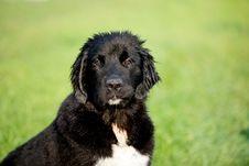 Free Short-coated Black And White Dog On Lush Pasture Selective Focal Photo Royalty Free Stock Image - 131518696