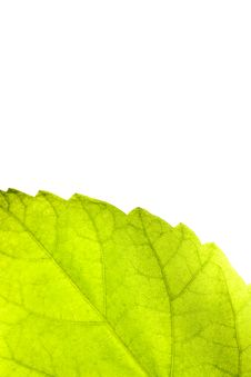 Free Leaf Royalty Free Stock Photography - 13160437