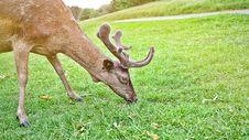 Free Brown Reindeer Eating Grass Royalty Free Stock Image - 131613296