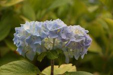 Free Blue, Flower, Plant, Hydrangea Stock Photography - 131670842