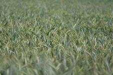 Free Crop, Triticale, Grass, Field Stock Photo - 131671210