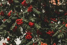 Free Red Berry Tree Royalty Free Stock Photos - 131719578