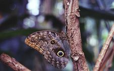 Free Brown Owl Butterfly Royalty Free Stock Photos - 131720028