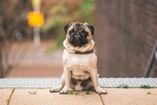 Free Pawn Pug Sitting On Beige Floor Royalty Free Stock Photography - 131720097