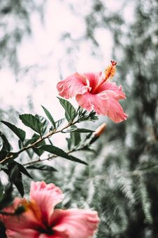 Free Selective Focus Photography Of Pink Hibiscus Flower In Bloom Royalty Free Stock Photo - 131720145