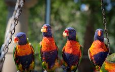Free Close-Up Photo Of Four Parrots Royalty Free Stock Image - 131720196