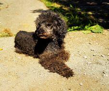 Free Dog Breed, Dog Like Mammal, Dog, Standard Poodle Stock Image - 131754021