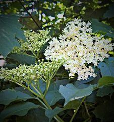 Free Plant, Nannyberry, Flora, Viburnum Stock Image - 131754101