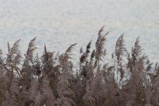 Free Phragmites, Grass Family, Grass, Sky Royalty Free Stock Image - 131754326